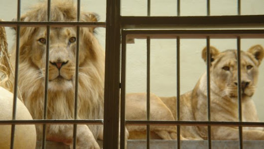 "Free At Last! 33 Circus Lions Rescued From ""Tiny Cages"" In South America 