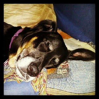 Lola #sunday #nap #dogs #relax #rescue #adoptdontshop #happydog