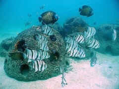 Fish on a Memorial Reef Ball