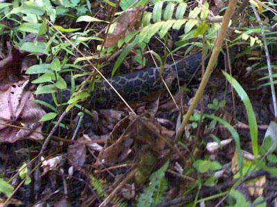 'Python' on the trail'