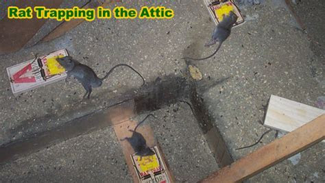 How to Trap a Rat   Rodent Trapping Tips on How to Catch Rats   Advice & Bait