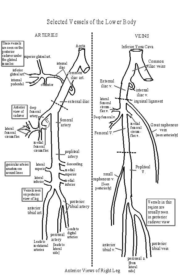 vanessa hudgens 2011  circulatory system diagram