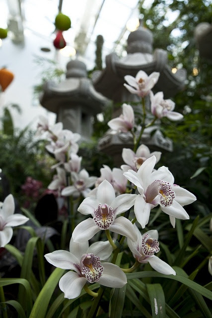 Cymbidium by Missouri Botanical Garden Orchid Show 2012  Photo by Christina Kelly