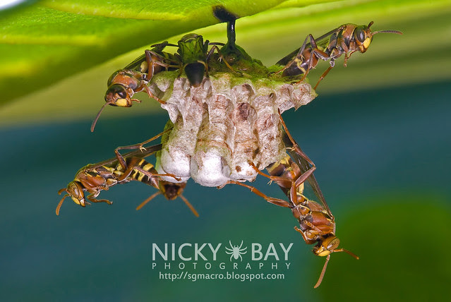 Wasps (Apocrita) - DSC_1802