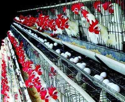 Shrawan effect: Poultry demand drops by 50% - Times of India