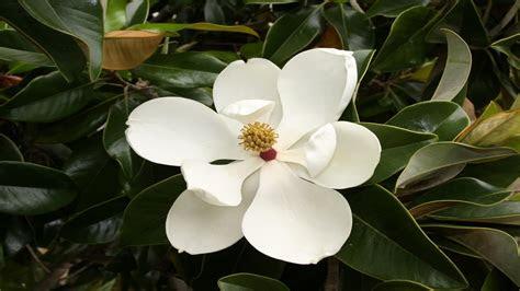 magnolia wallpaper wallpapertag