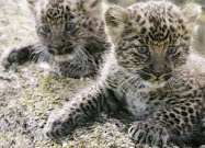 Leopard -This cat, in its melanistic color phase, is often mistakenly referred to