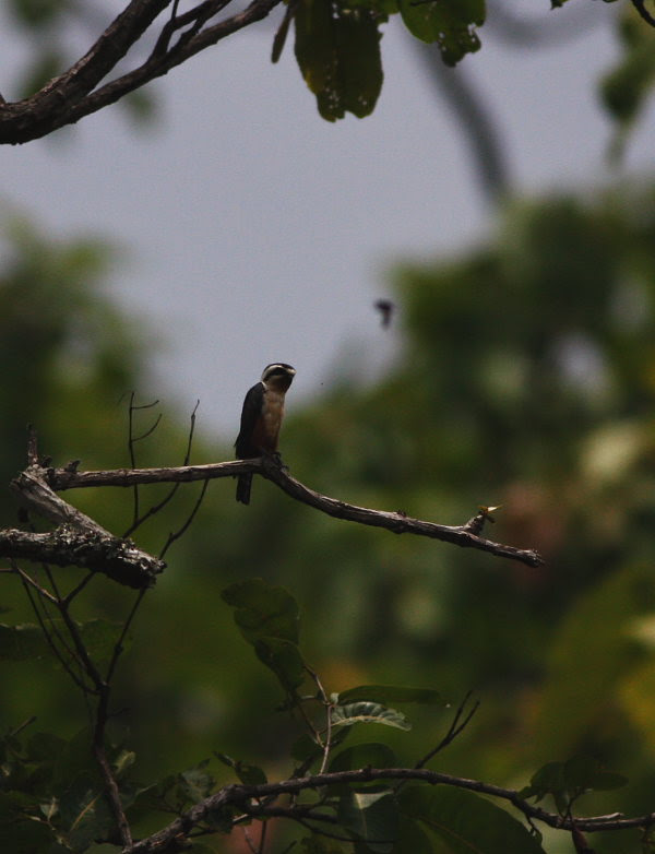 Collared Falconet in Dipterocarp forest