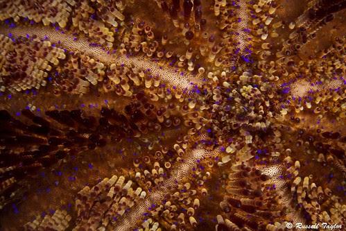 Fire Urchin Close-Up