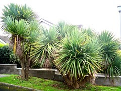 Isle of man Palm trees
