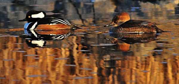 male and female Hooded Mergansers