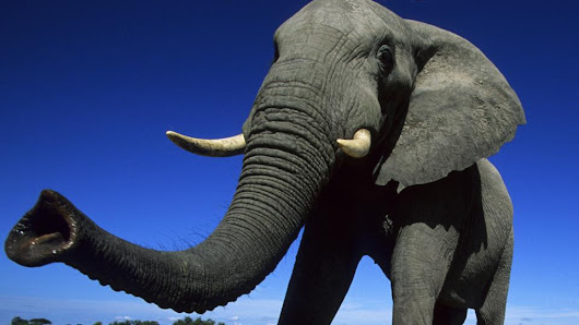 Why the elephant has a long trunk