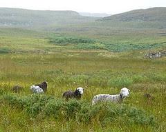 herdy sheep