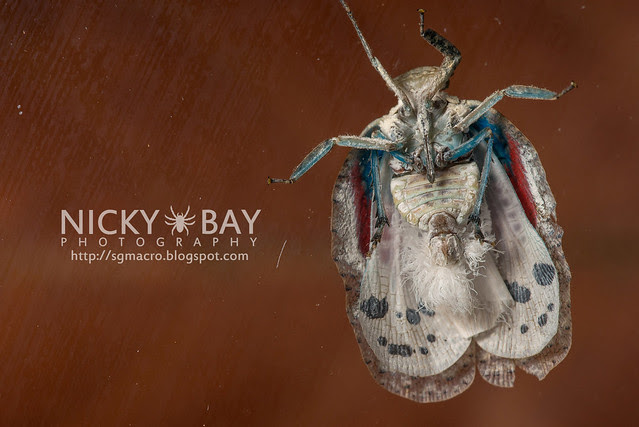 Planthopper (Flatidae?) - DSC_8697