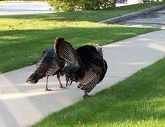 Turkeys_100608b
