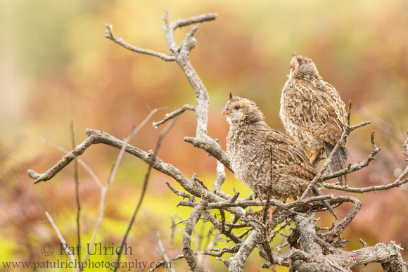 California quail fledglings perched on coyote brush in Point Reyes
