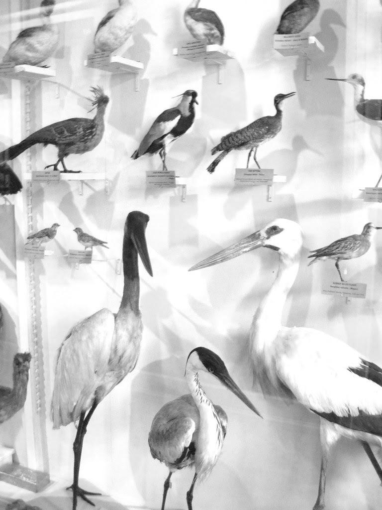 harvard birds