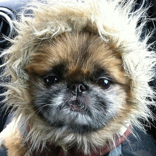 View Ad: Pekingese Litter of Puppies for Sale near me in Kentucky USA