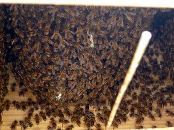 ニホンミツバチの巣箱内部