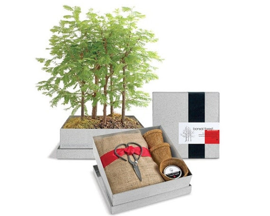 Dawn Redwood Bonsai Gift Set  Recycled by PottingShedCreations