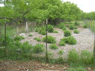 Garden 1 Full of Prickly Lettuce Plants