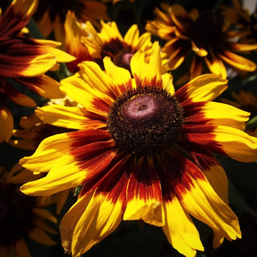 Rudbeckia in Fall Colors via Instagram | A Gardener's Notebook
