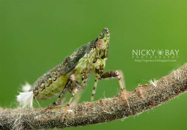 Planthopper (Fulgoromorpha) - DSC_1523