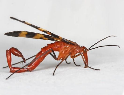 Scorpionflies Like Roaches & Earwigs