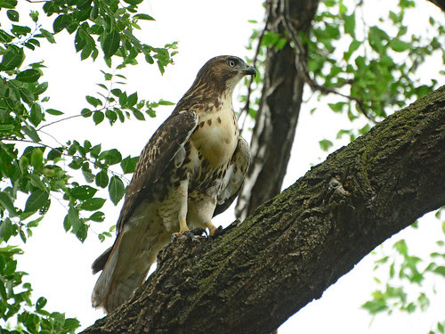 Morningside Park Juvenile Hawk