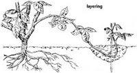 image64 Reproduksi Vegetatif pada Tumbuhan