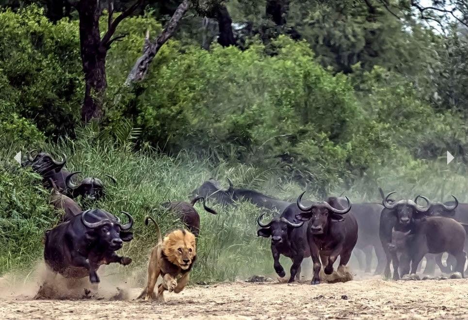 Lions_Buffles