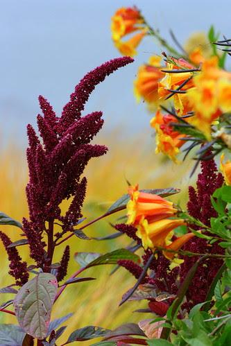 amaranth and tecoma