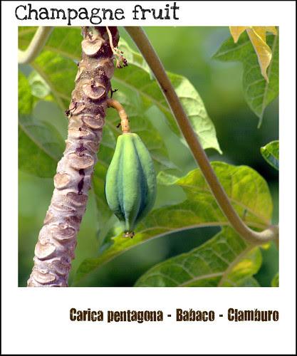 Carica pentagona - Babaco - Clamburo - Champagne fruit