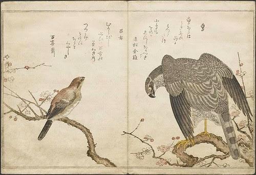 Bull-headed Shrike + Hawk