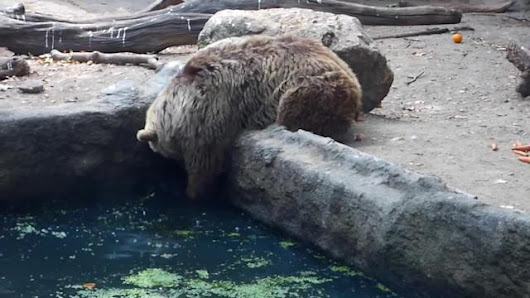 Bear saves drowning crow at Budapest Zoo