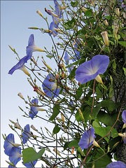 Morning Glories on a light pole