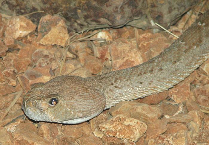 Red Diamondback Rattlesnake  Crotalus exsul