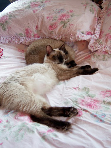 figgy is frannies pillow!
