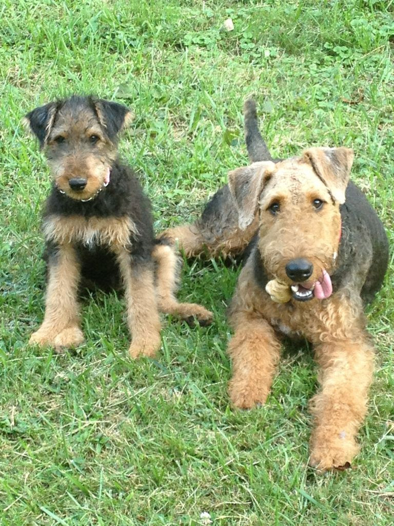 Adopt An Airedale Terrier Dog Breeds Petfinder  Autos Post