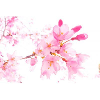 しだれ桜の花弁 ニコニコモンズ