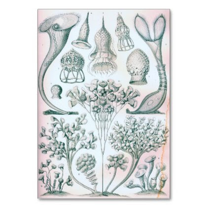 Ernst Haeckel Ciliata Table Card