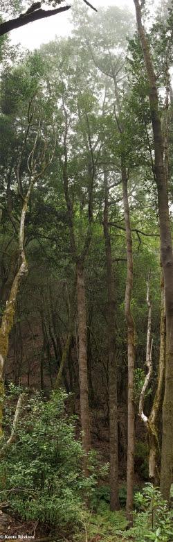 Viñátigo en Parque Nacional de Garajonay, Hermigua, España