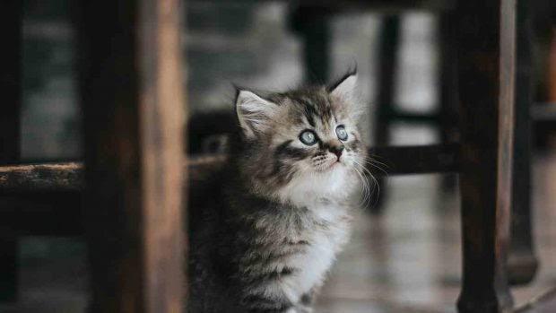Enfermedades virales en tu gato