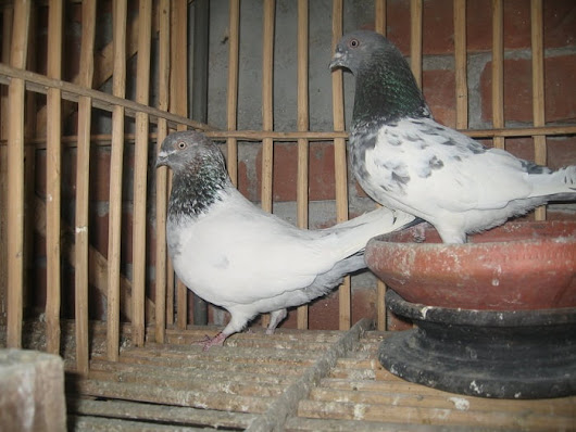 indian Pigeon Breeds