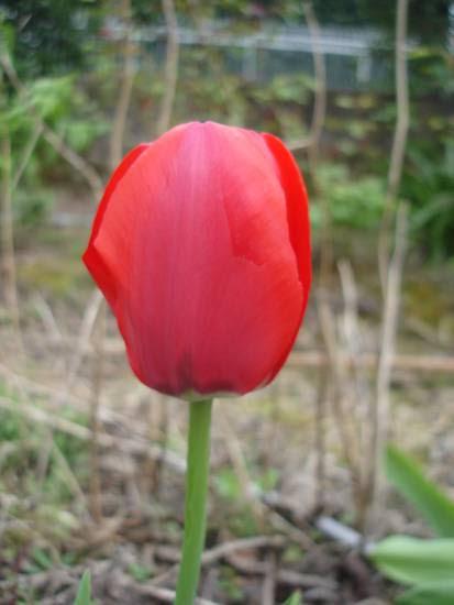 tulipano_rosso