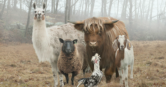 This Photographer Photographs Farm Animal Like No One Else