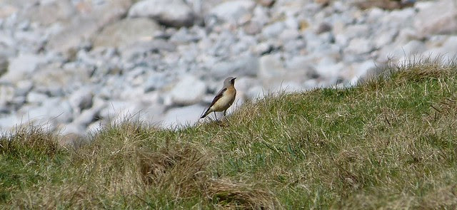26907 - First Wheatear of 2012, Rhossili