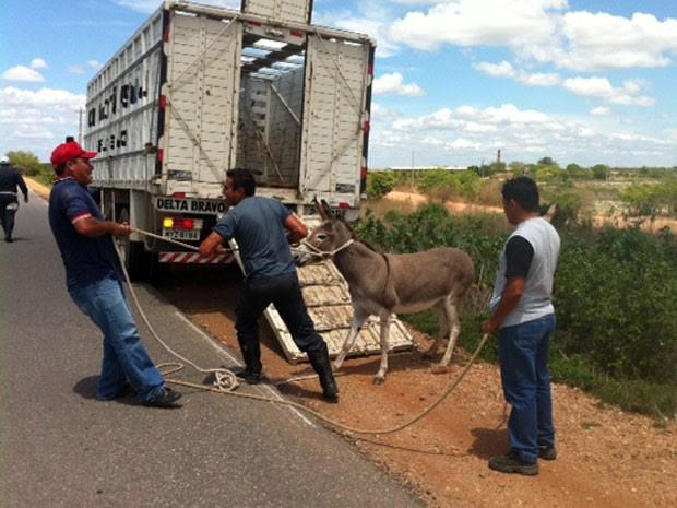 Jumento foi apreendido em estrada do RN nesta quinta (13) (Foto: Fernanda Zauli/G1)