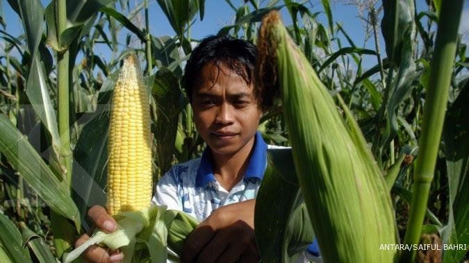 Sampai akhir tahun, harga jagung masih tinggi
