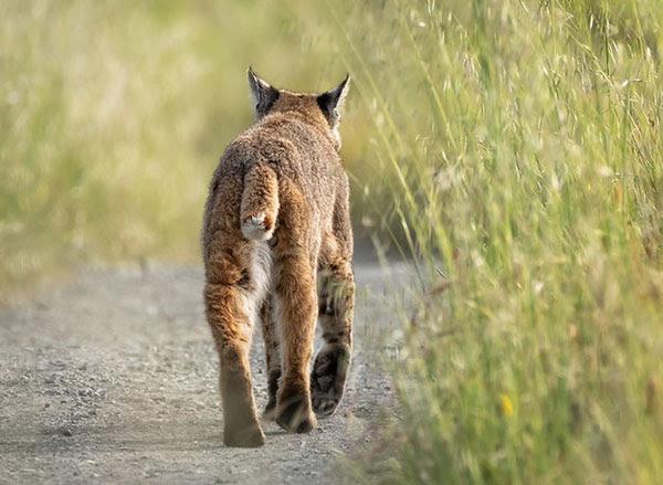 Bobcat at Point Reyes National                                 Seashore, California